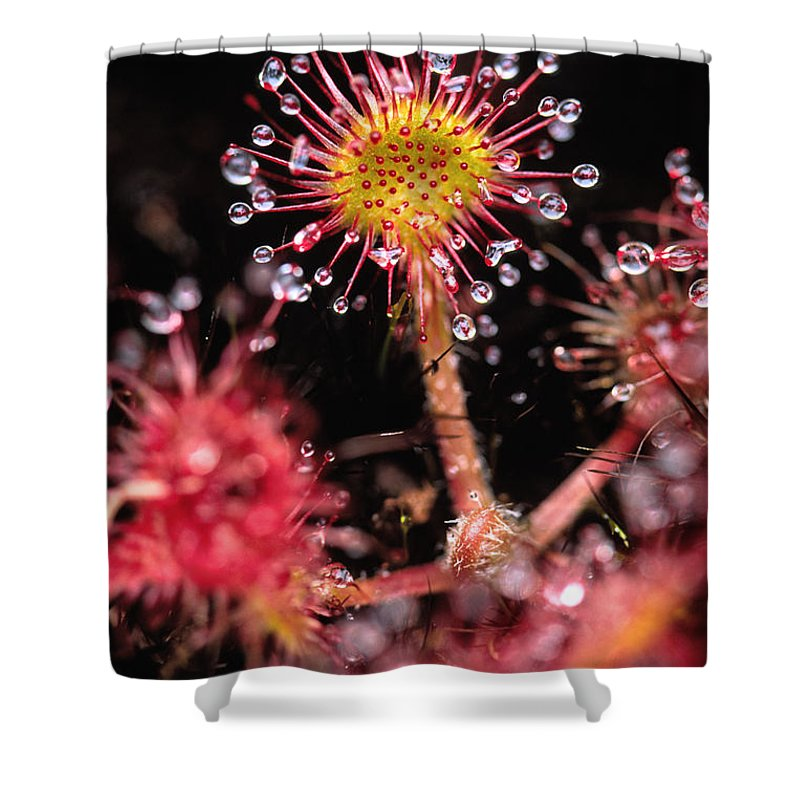 Light Shower Curtain featuring the photograph Sundew, Vancouver Island, British by Robert Postma