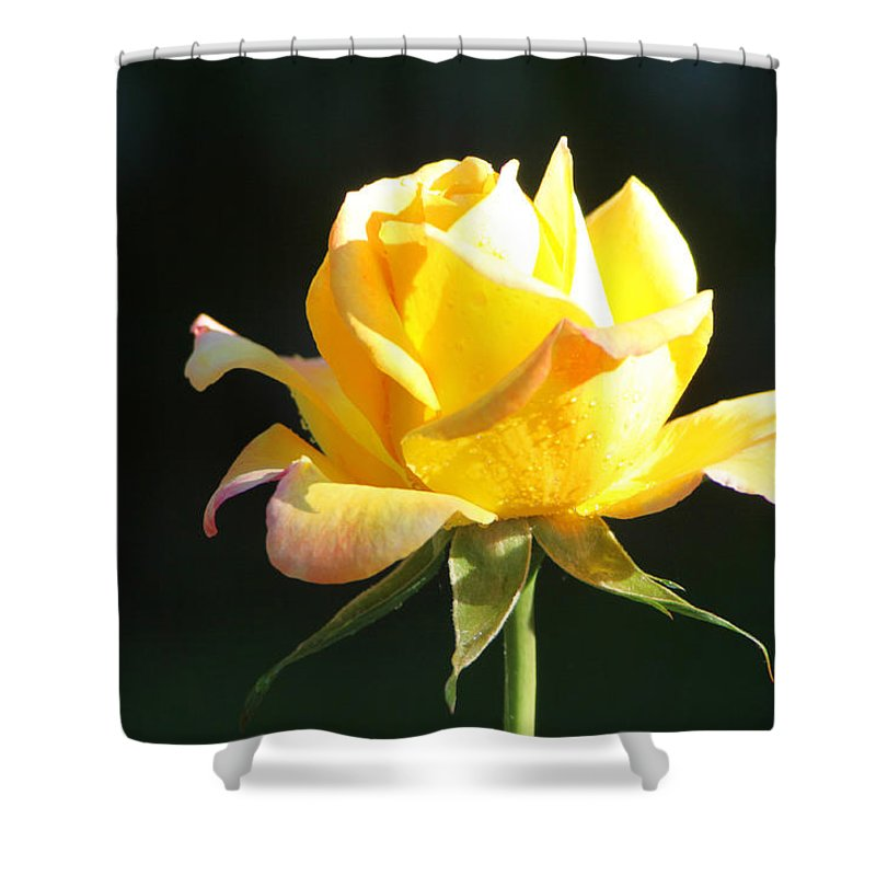 Rose Shower Curtain featuring the photograph Sunlight On Yellow Rose by Diana Haronis