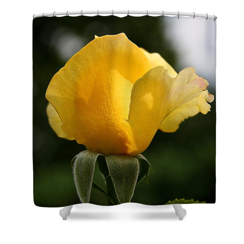 Plant Shower Curtain featuring the photograph Sunrise Rosebud by Susan Herber