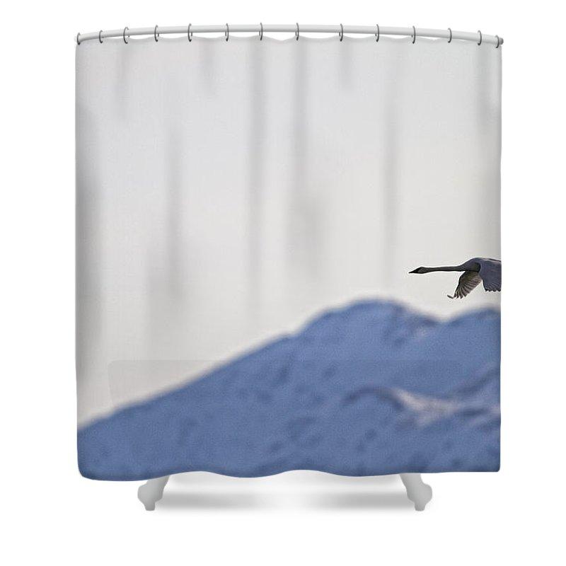 Light Shower Curtain featuring the photograph Swan In Flight, Yukon by Robert Postma