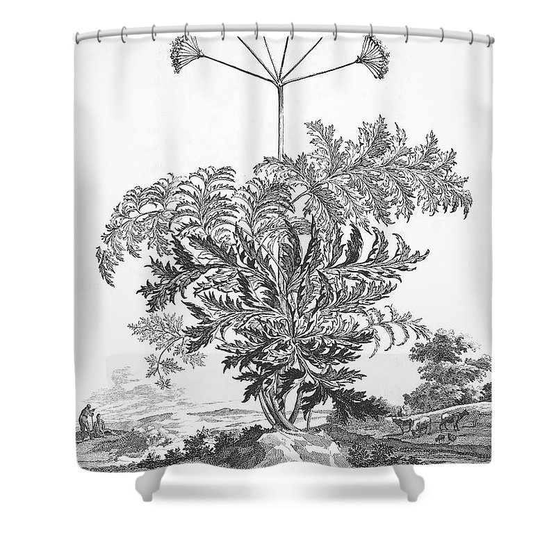 1696 Shower Curtain featuring the photograph Thapsia Major Latifolia by Granger