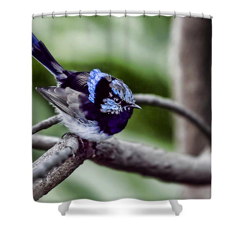 Blue Wren Shower Curtain featuring the photograph The Bluest Of Blue by Douglas Barnard