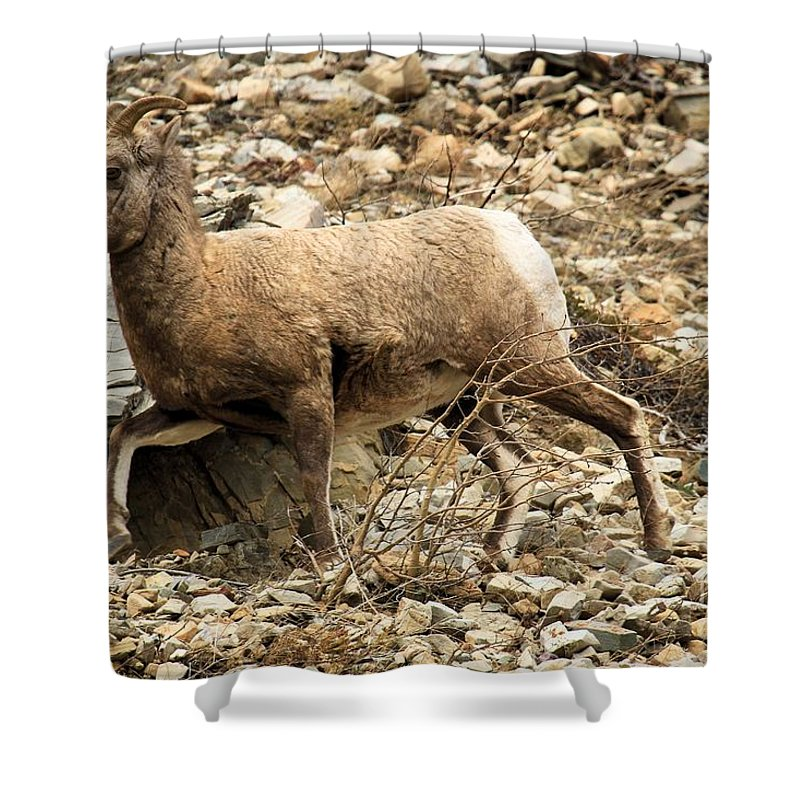 Big Horn Sheep Shower Curtain featuring the photograph The Morning Run by Adam Jewell