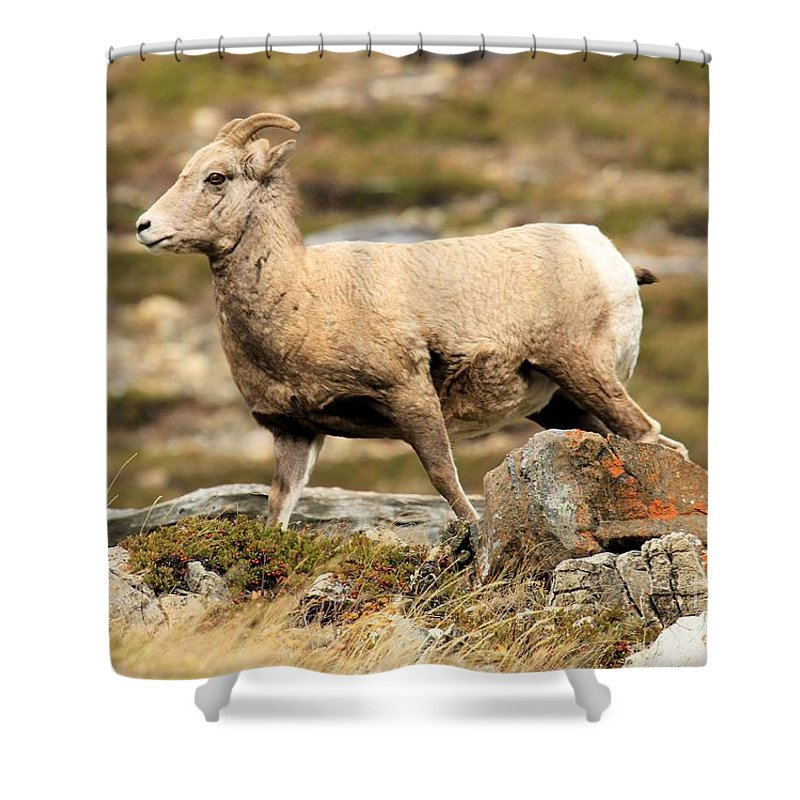 Big Horn Sheep Shower Curtain featuring the photograph The Queen by Adam Jewell