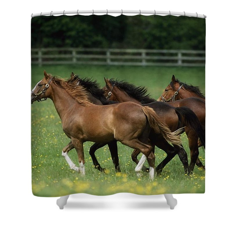 Bridle Shower Curtain featuring the photograph Thoroughbred Horses, Ireland by The Irish Image Collection