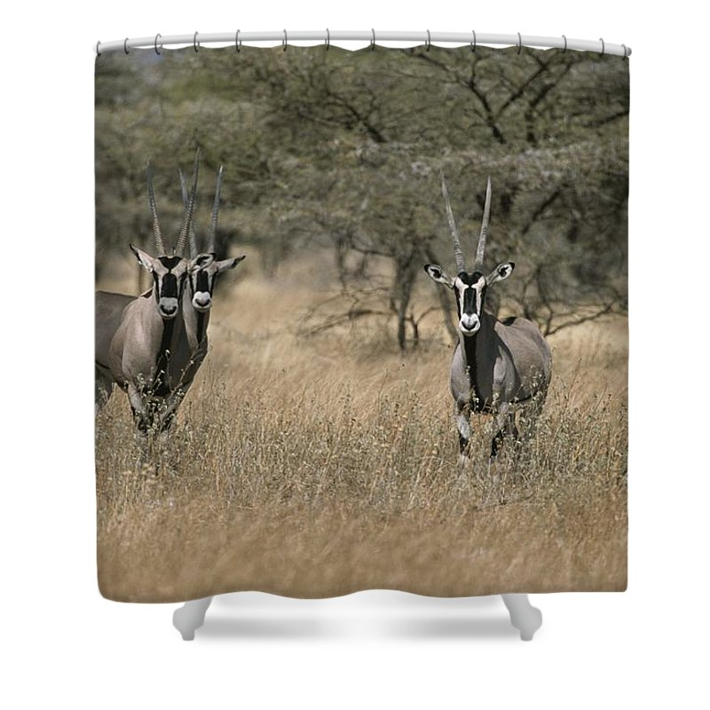 Africa Shower Curtain featuring the photograph Three Beisa Oryxes In Kenyas Samburu by Roy Toft