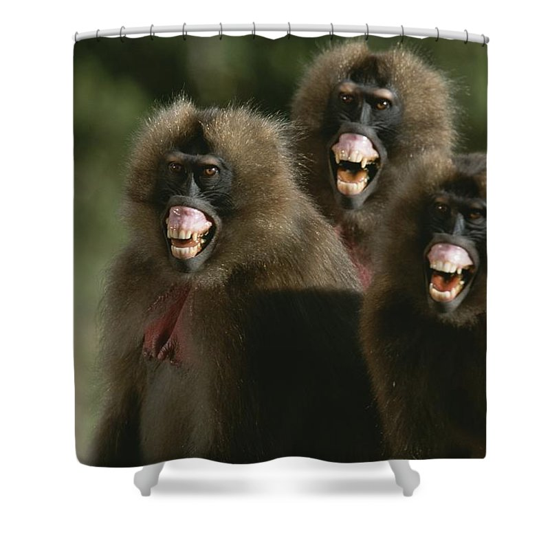 Animals Shower Curtain featuring the photograph Three Female Geladas, Theropithecus by Michael Nichols