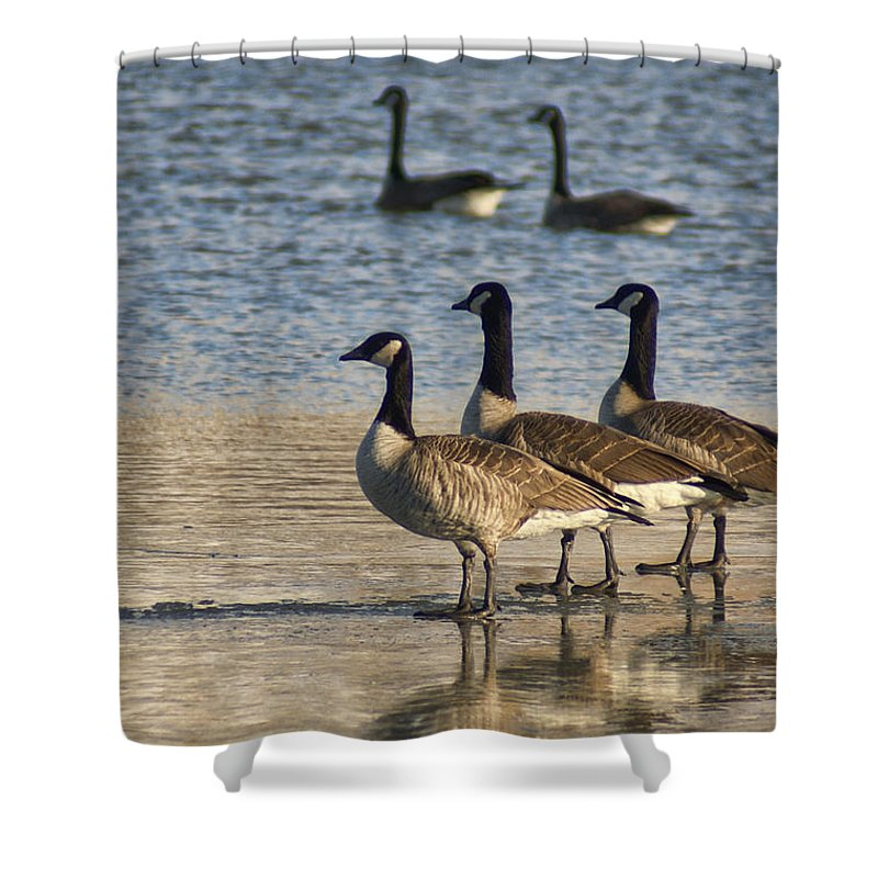 Geese Shower Curtain featuring the photograph Three Geese by Alan Hutchins
