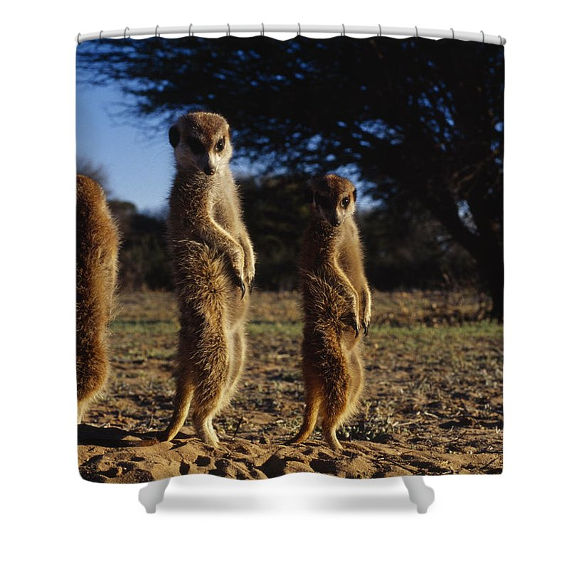 Africa Shower Curtain featuring the photograph Three Meerkats With Paws Poised Neatly by Mattias Klum