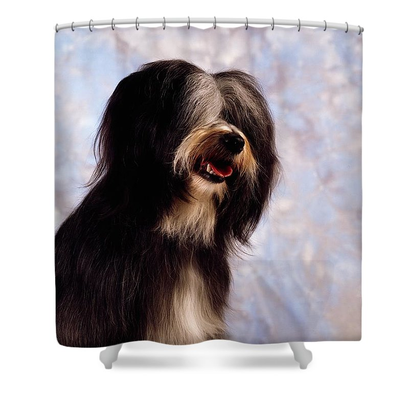 Breed Shower Curtain featuring the photograph Tibetan Terrier by The Irish Image Collection