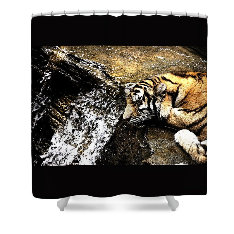 Amur Tiger Shower Curtain featuring the photograph Tiger Falls by Angela Rath