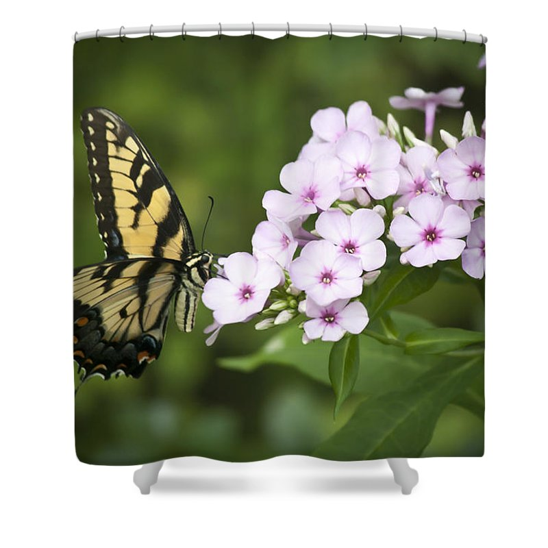 Phlox Shower Curtain featuring the photograph Tiger Swallowtail by Teresa Mucha