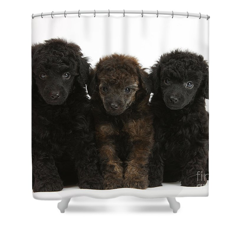 Animal Shower Curtain featuring the photograph Toy Poodle Pups by Mark Taylor