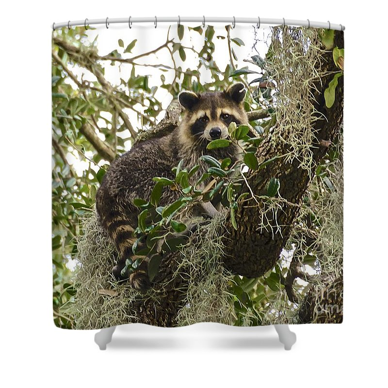 Raccoon Shower Curtain featuring the photograph Treed by Carol Bradley