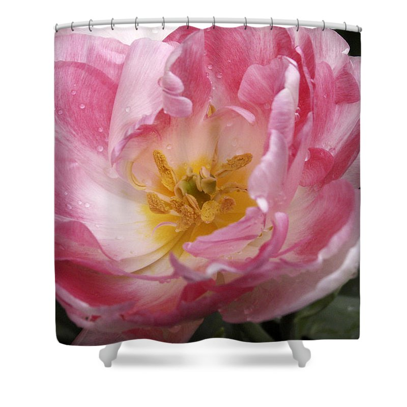 Pink Shower Curtain featuring the photograph Tulip Angelique by Nancy Griswold