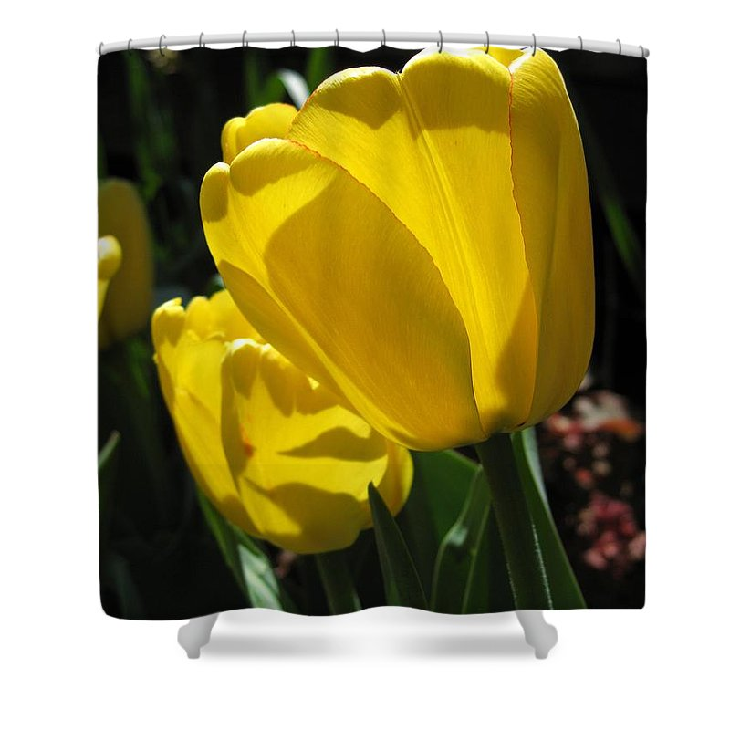 Tulip Shower Curtain featuring the photograph Tulip Named Big Smile by J McCombie