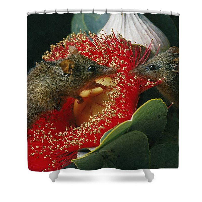 North America Shower Curtain featuring the photograph Two Australian Honey Possums Feed by Jonathan Blair