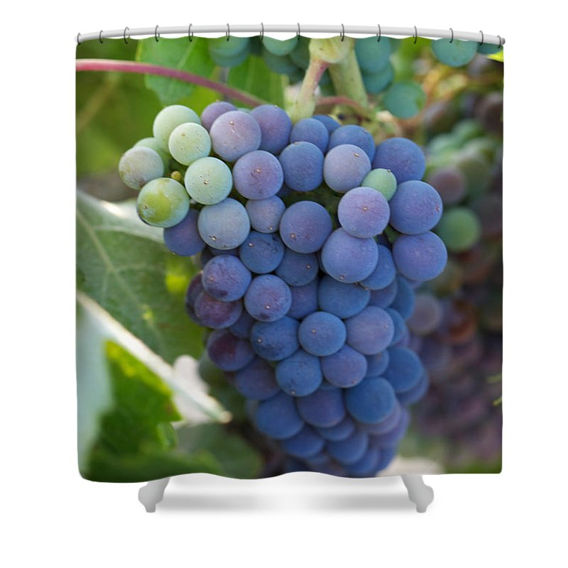 Red Grapes Shower Curtain featuring the photograph Vine Ripe by Brooke Roby