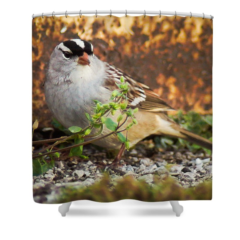 Bird Shower Curtain featuring the photograph White Crowned Sparrow by Bill Pevlor