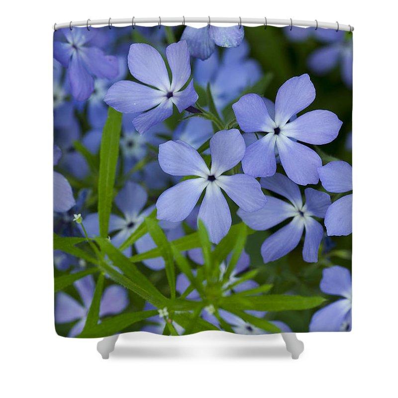Bloom Shower Curtain featuring the photograph Wild Blue Phlox Flower 1 A by John Brueske