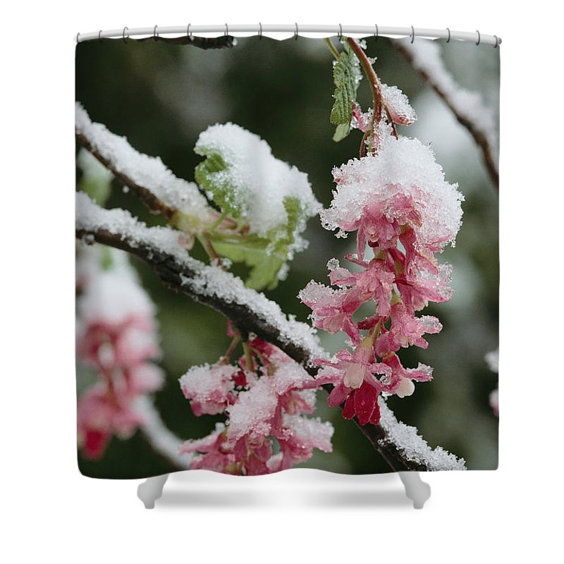 North America Shower Curtain featuring the photograph Wild Currant Blossoms Ribes Sanguineum by Sylvia Sharnoff