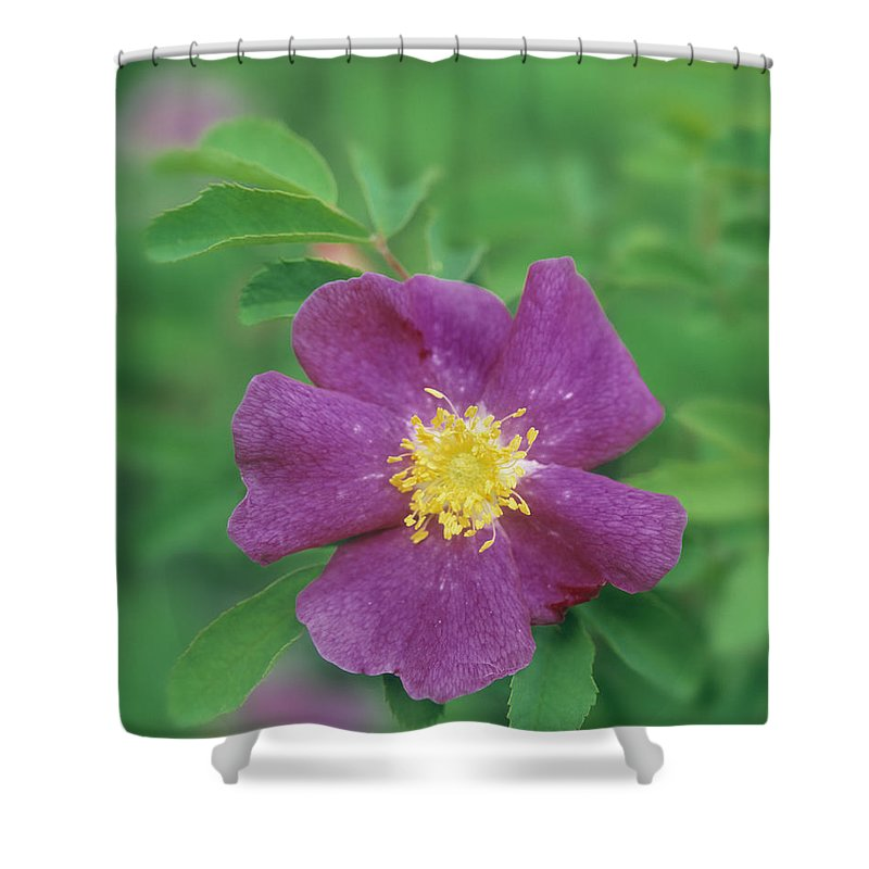 Light Shower Curtain featuring the photograph Wild Rose by Darwin Wiggett