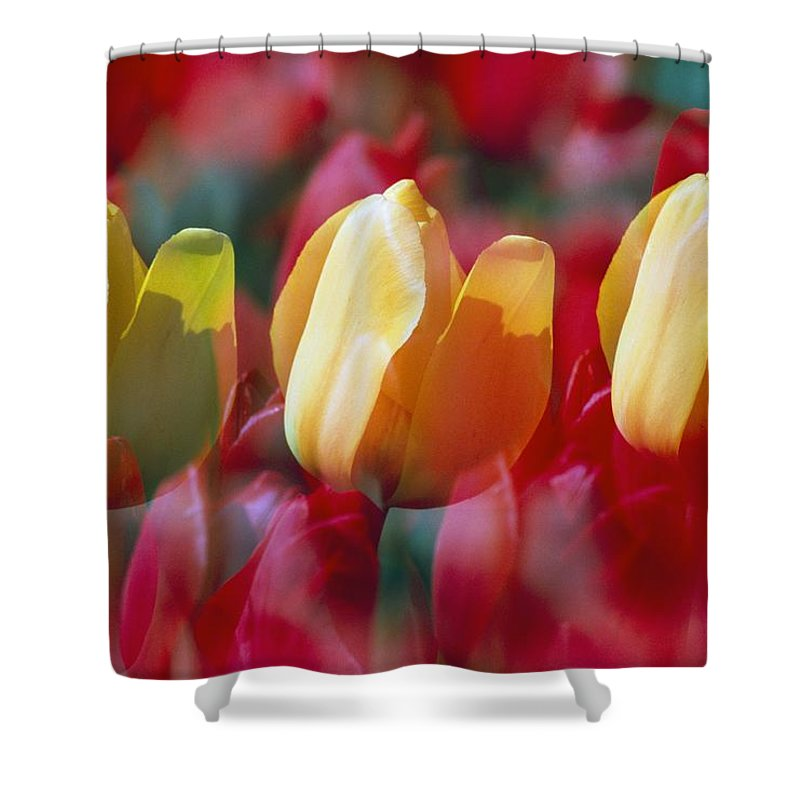 Outdoors Shower Curtain featuring the photograph Yellow And Red Tulip Blooms by Natural Selection Craig Tuttle