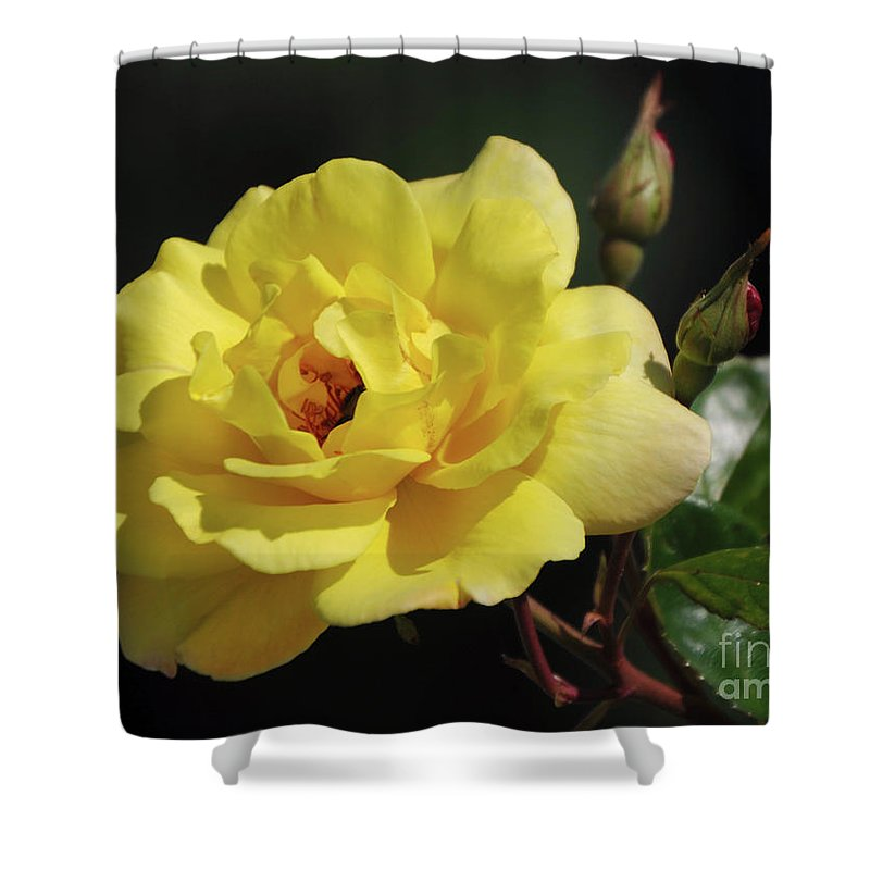 Yellow Shower Curtain featuring the photograph Yellow Rose by Ronald Grogan