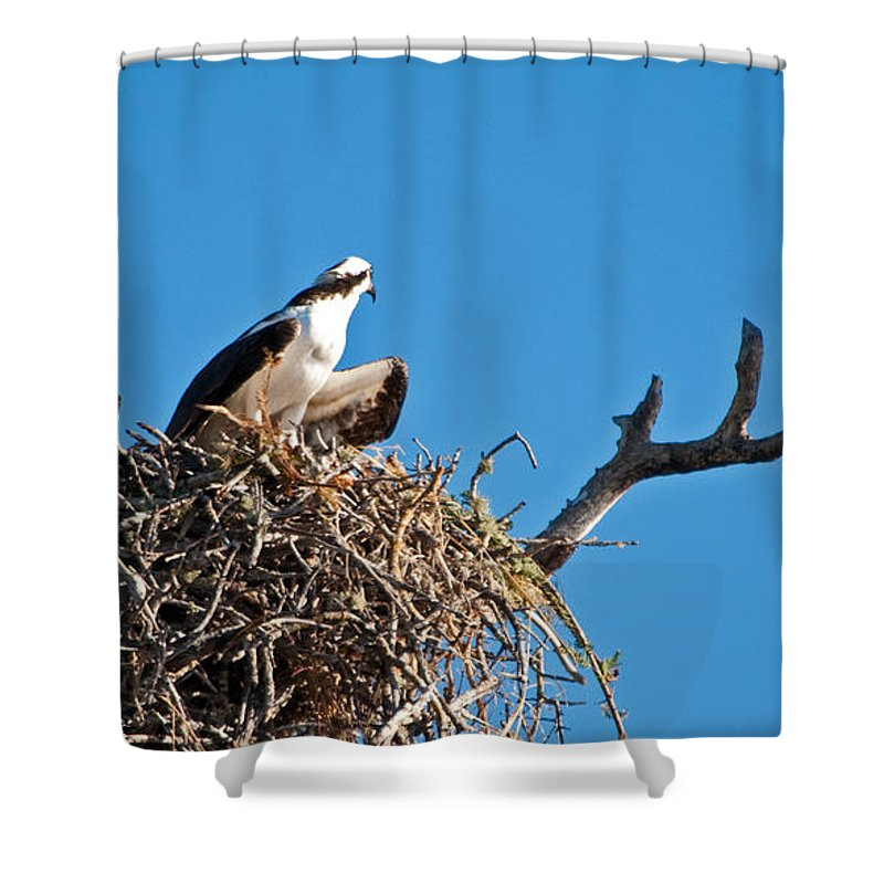 Osprey Shower Curtain featuring the photograph You Lookin At Me by Christine Stonebridge