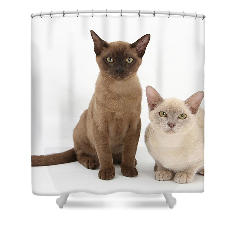 Animal Shower Curtain featuring the photograph Young Burmese Cats by Mark Taylor