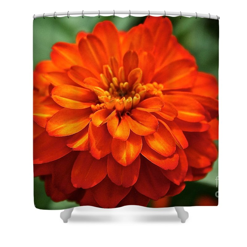 Plant Shower Curtain featuring the photograph Zinnia Flare by Susan Herber