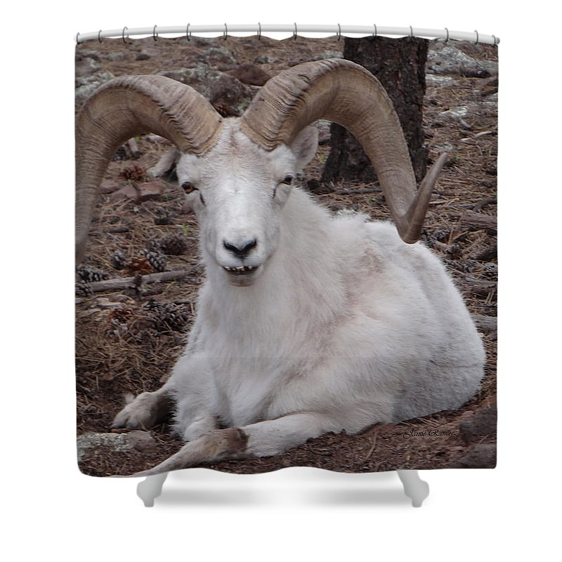 Dall Sheep Ram Shower Curtain Featuring The Photograph Funny Face By Jamie Ramirez