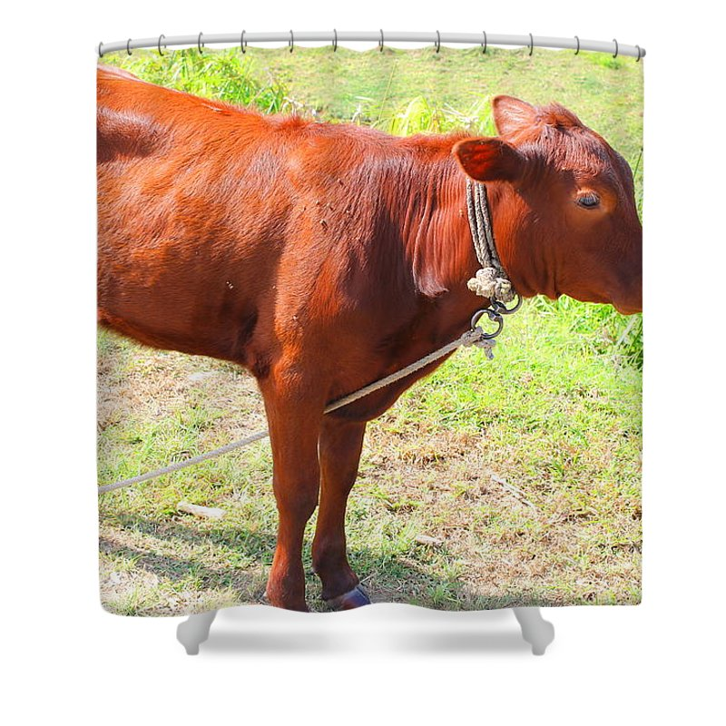 Jamaican Cow Shower Curtain For Sale By Debbie Levene