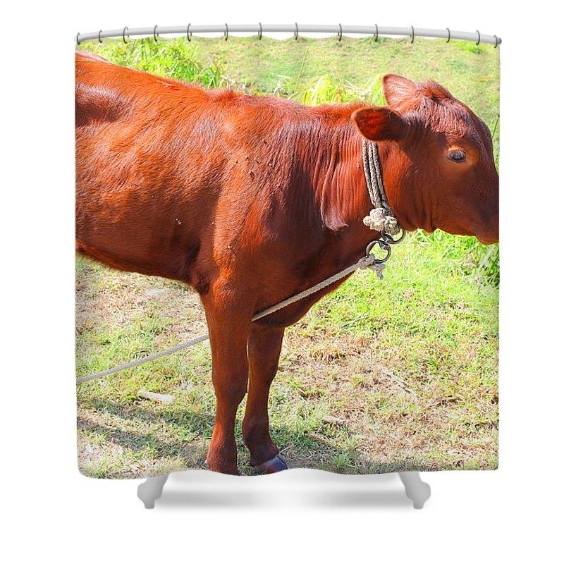 Jamaican Cow Shower Curtain For Sale By Debbie Levene