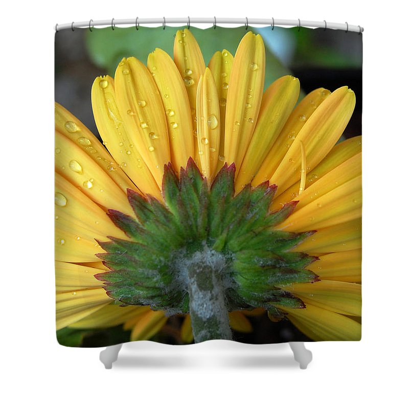 Flowers Shower Curtain featuring the photograph Water Drops On Gerbera Daisy by Amy Fose