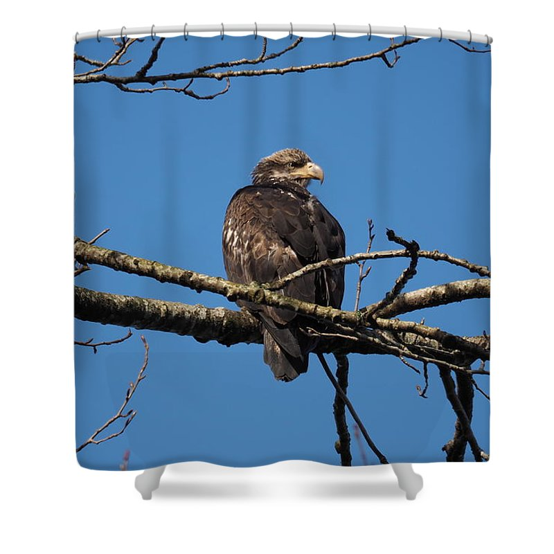 Bald Eagle Shower Curtain featuring the photograph 14-03-16 by Darrell MacIver