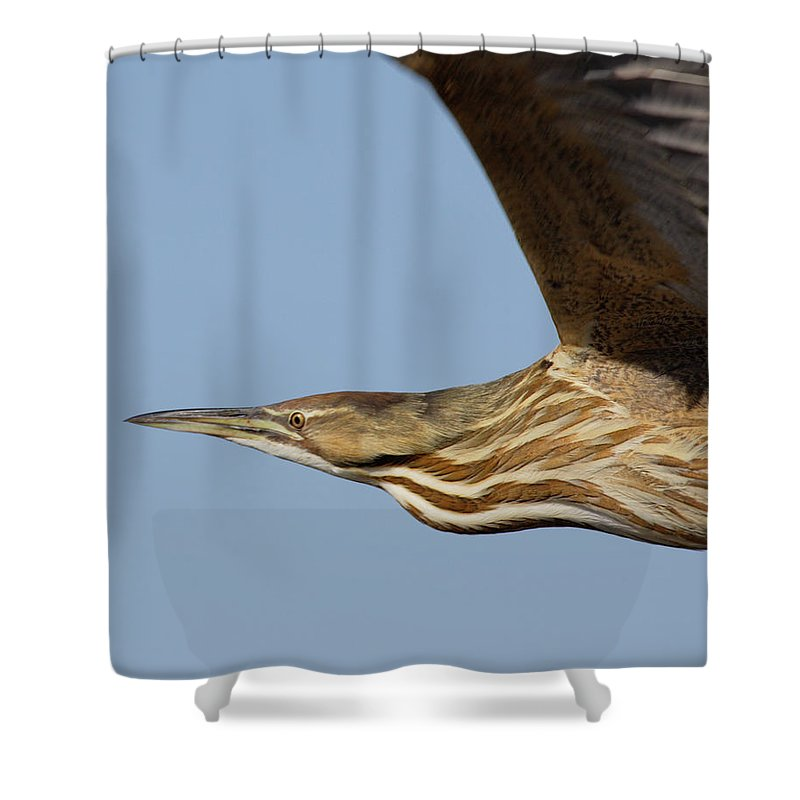 Fly Shower Curtain featuring the photograph American Bittern Flies By by Mark Wallner