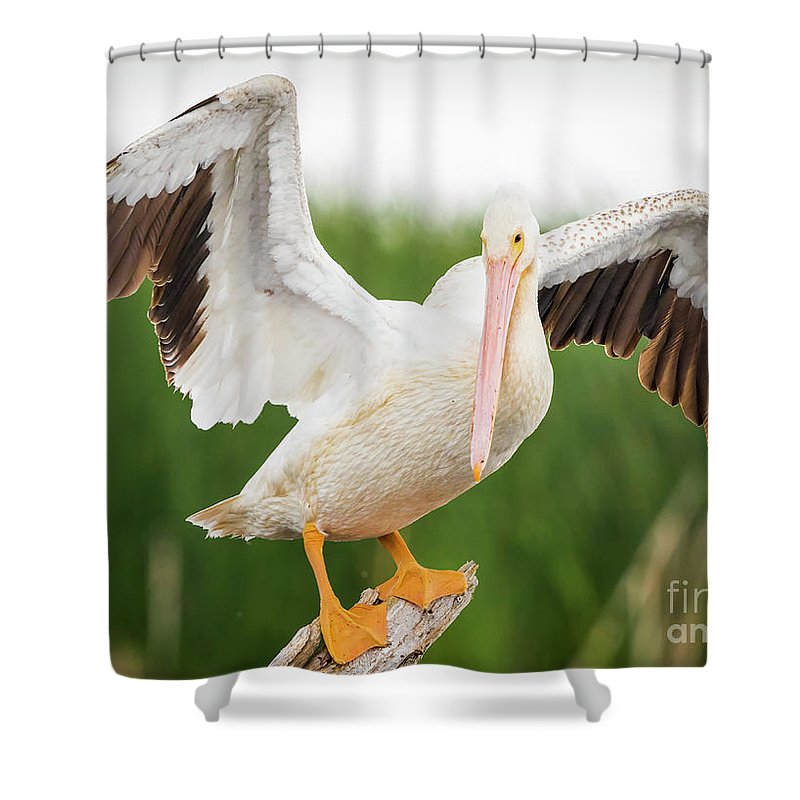 Canon Shower Curtain featuring the photograph American White Pelican by Ricky L Jones