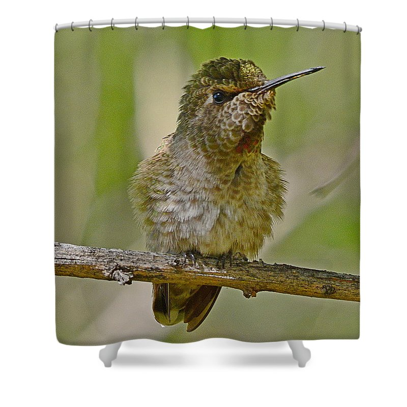 Anna's Hummingbird Shower Curtain featuring the photograph Anna's Perched by Michael Searcy