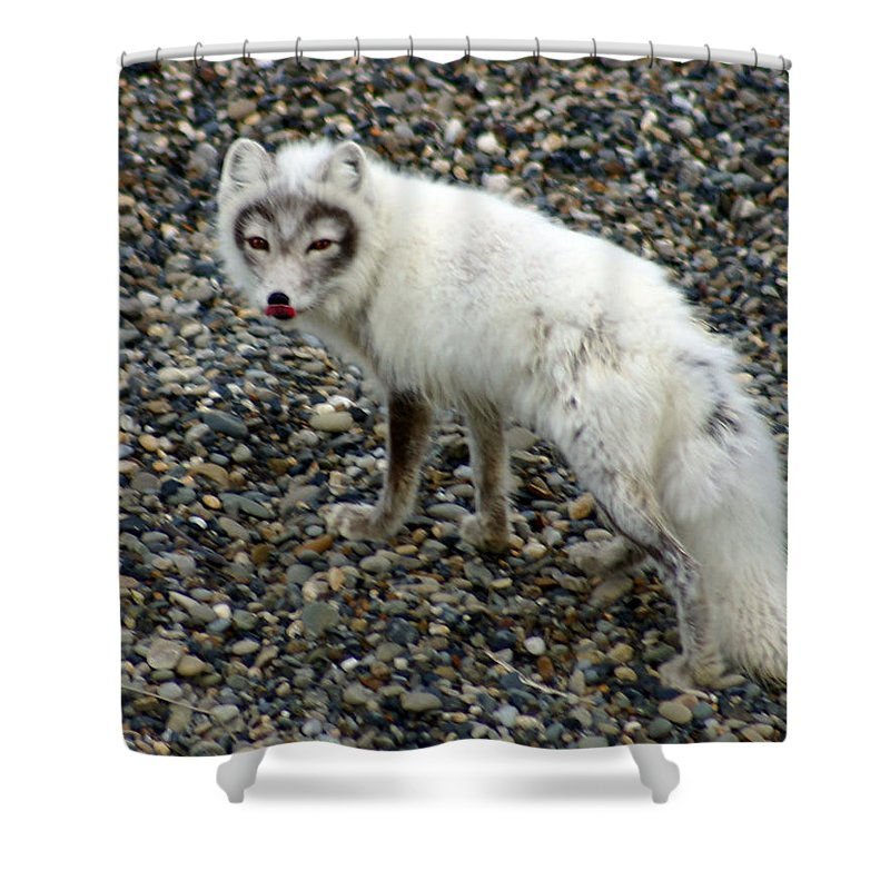 Arctic Fox Shower Curtain featuring the photograph Arctic Fox by Anthony Jones