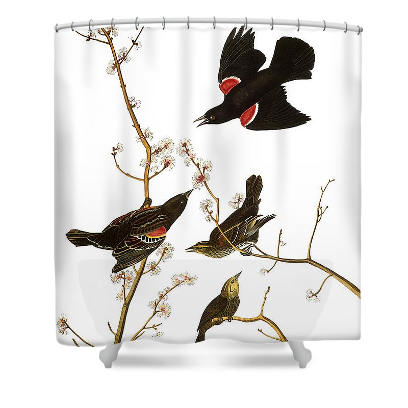 1827 Shower Curtain featuring the photograph Audubon: Blackbird, (1827) by Granger
