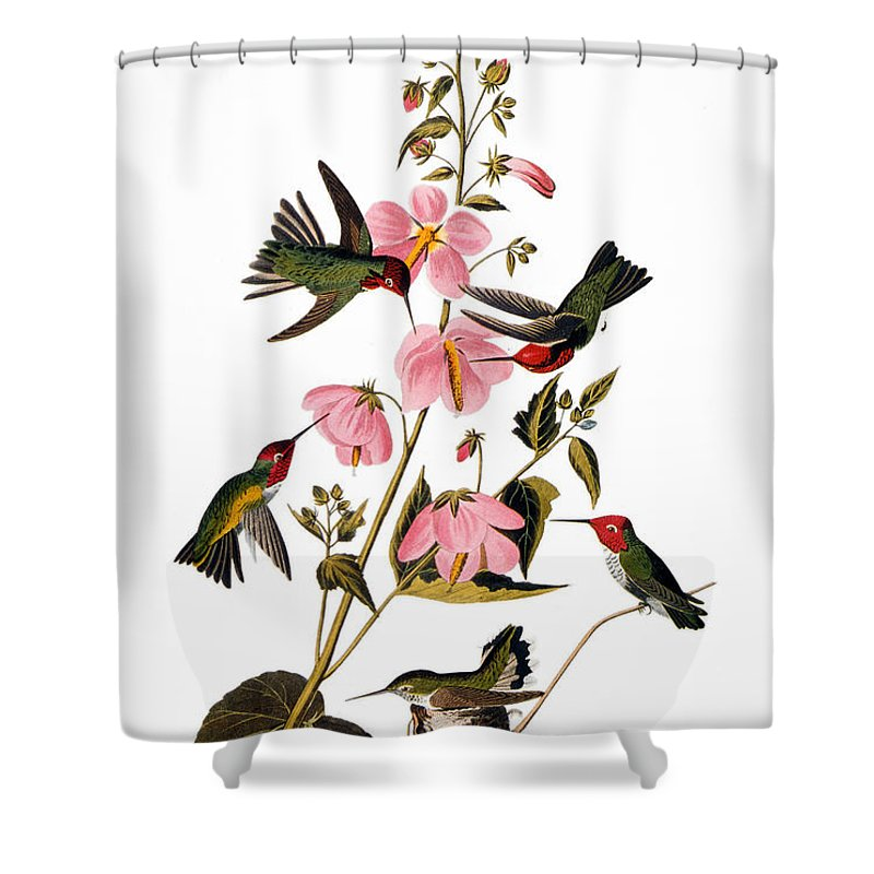 1838 Shower Curtain featuring the photograph Audubon: Hummingbird by Granger