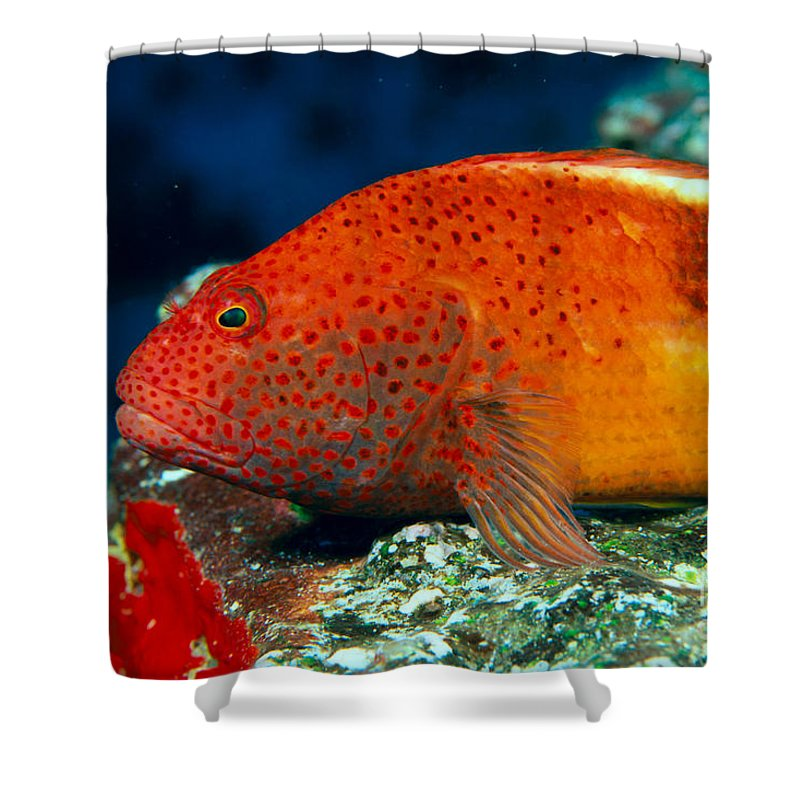 Above Shower Curtain featuring the photograph Blackside Hawkfish by Dave Fleetham - Printscapes