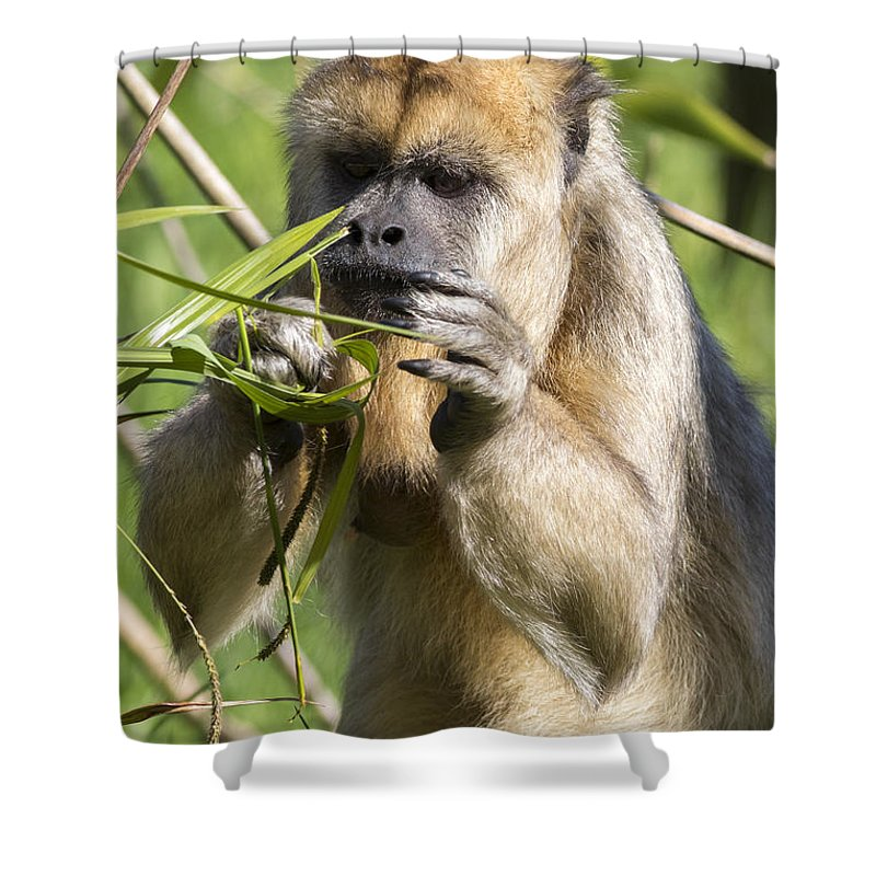 Monkey Shower Curtain Featuring The Photograph Brown Capuchin By Chris Smith