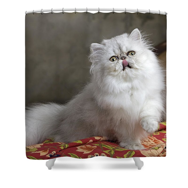 Chinchilla Persian Cat Shower Curtain For Sale By Jean Michel Labat