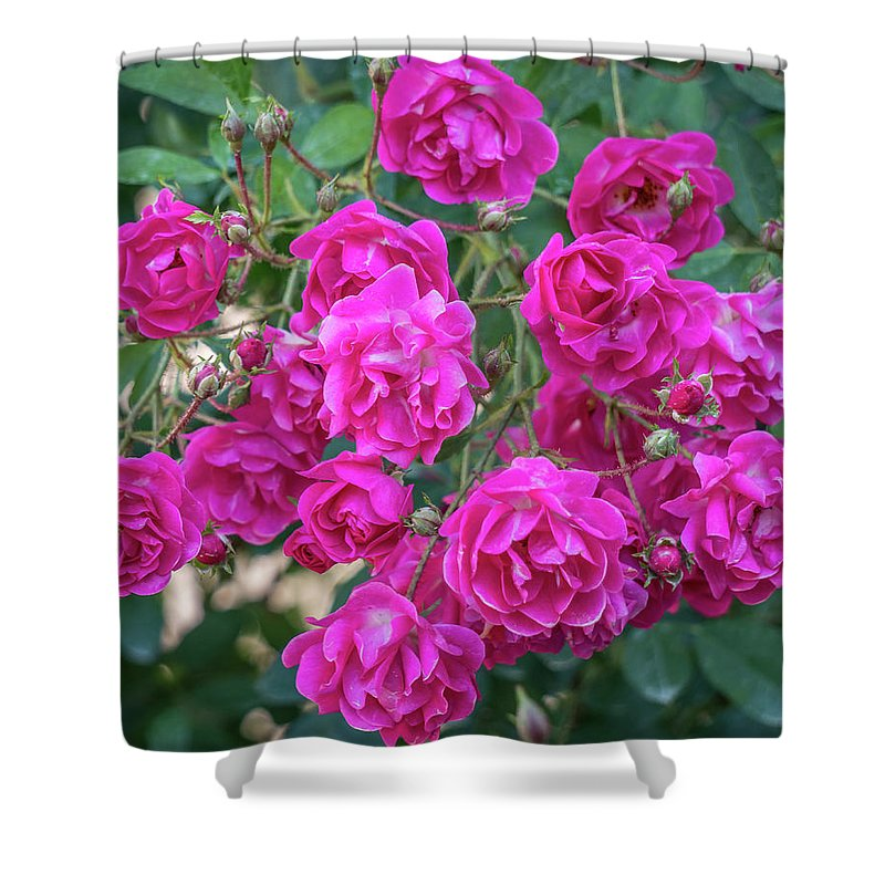 Pink Shower Curtain featuring the photograph Cluster Of Roses by Jane Luxton