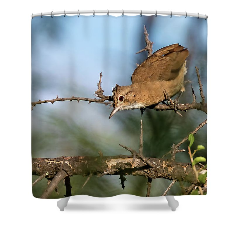 Bird Shower Curtain featuring the photograph Crested Hornero by Pablo Rodriguez Merkel