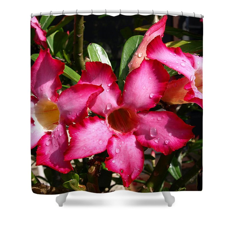 Desert Rose; Desert; Rose; Red; Pink; Flower; Bush; Garden; Florida; Plant; Adenium; Obesum; Africa; Shower Curtain featuring the photograph Desert Rose by Allan Hughes