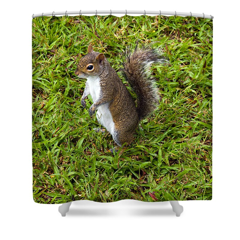 Squirrel; Eastern; Gray; Sciurus; Carolinensis; Swarm; Food; Florida; Eau; Gallie; Melbourne; Park; Shower Curtain featuring the photograph Eastern Gray Squirrel by Allan Hughes