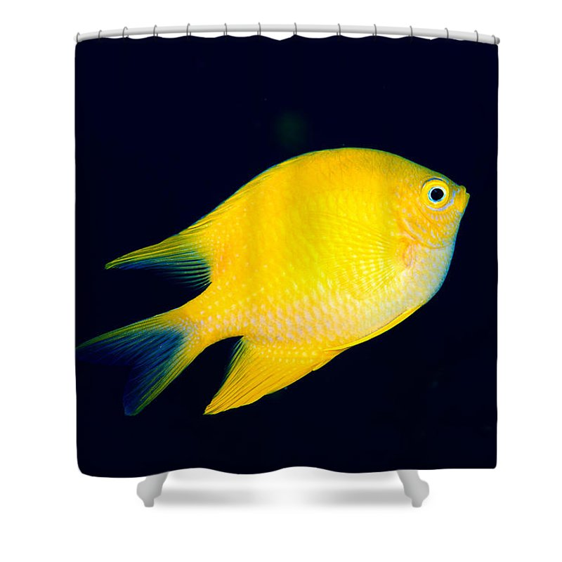 30-pfs0131 Shower Curtain featuring the photograph Golden Damselfish by Dave Fleetham - Printscapes